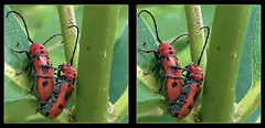 Tetraopes Tetrophthalmus, Mating Red Milkweed Beetles on Milkweed 2 - Crosseye 3D (DarkOnus) Tags: red macro closeup insect stereogram 3d crosseye day phone pennsylvania cell stereo mating milkweed beetles stereography buckscounty hump huawei crossview tetraopes ihd hihd tetrophthalmus mate8 insecthumpday darkonus