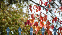 Blue Arrows and Red Leaves (Theen ...) Tags: adelaide arrows blue branches college fence foliage gold green leaves lumix metal red senior sky thebarton theen tipped tree trees