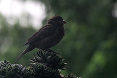 June 14, 2016 (tylerjacobs) Tags: summer house bird wet rain weather birds illinois day pentax sony overcast sparrow after succulents lisle f40 200mm a6000