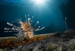 Lionfish (Pterois volitans) Gun Beach, Tumon, Guam (RCG Maru) Tags: purple lionfish pteroisvolitans gunbeach gunbeachguam guamscubadiving guamdiving guamunderwater lionsfishpics rcgmaruunderwaterphotography russellcgilbertphotography nikond800 ikelitestrobes