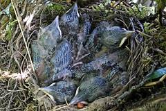 gnjezdo kosa,  Pleivica (mdunisk) Tags: kos mladunci turdusmerula mdunisk ptica ptice gnjezdo pleivica kotari manjavas terihaji klake oki