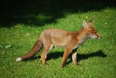 Fox cub (Clare_leeloo) Tags: nature wildlife mammals redfox foxcub vulpes