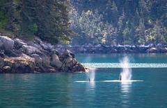Orca Snorts (1 of 1) (adam.veldhuizen) Tags: blue nature alaska wildlife blowhole fjord orca mammals killerwhale kenai kenaifjords