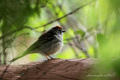 Chipping Sparrow (Zane S. Adams) Tags: chippingsparrow chipping sparrow newmexico 2016 bird