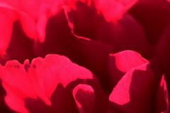 Peony Petal Texture (gripspix (OFF)) Tags: 20160605 nature natur plant pflanze blte blossom peony pfingstrose petal bltenblatt texture textur