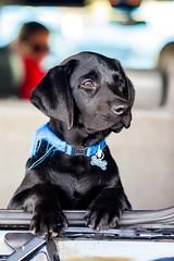 Hey Bailey! (Thomas Hawk) Tags: dog puppy labrador bailey blacklab eastbay