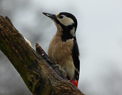Great Spotted Woodpecker (Peanut1371) Tags: red white black bird woodpecker spotted greatspottedwoodpecker woodlandbird nationalgeographicwildlife