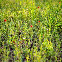 A Strip of Sharpness (*Capture the Moment*) Tags: red test green rot bokeh poppy grn 2016 mohnblume farbdominanz sonya7ii leicasummiluxm1475