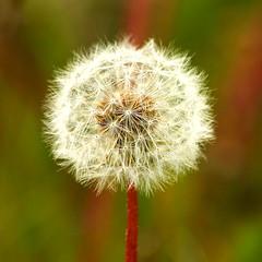 Biukolla - Blowball (Freyja H.) Tags: plant nature outside iceland dandelion blowball ffill biukolla