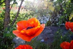 Trdgrdsvallmo (Pernilla Lindblom) Tags: trdgrdsvallmo sommar dawn gotland outdoor vacation jttevallmo  semester travel utemilj resa island orientalpoppy poppy poppies sweden vallmo gryning grnska blommor greenery