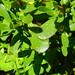 Common Purslane