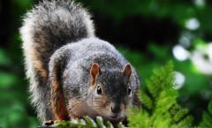 TOM FOOLERY RETURNS (Lori Garske) Tags: squirrel tomfoolery garden squirel