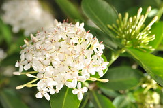 santan (ixora) (DOLCEVITALUX) Tags: flowers flower fauna flora philippines ixora santan medicinalplants flameofthewinds