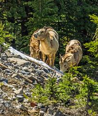 female bighorn sheep - sulphur mtn, banf NP, canada (AB) 6 (Russell Scott Images) Tags: canada mountains rocky ab canadian alberta banff banffnationalpark bighornsheepoviscanadensis