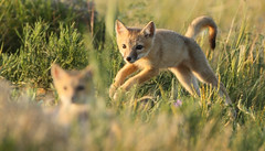 Playtime! (gainesp2003) Tags: nature mammal colorado wildlife national fox co kits swift kit foxes grasslands velox pawnee vuples