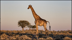 _SG_2016_05_Namibia_0039_IMG_0516 (_SG_) Tags: auto africa park trip tree water car nationalpark wasser solitude desert hole national afrika giraffe ausflug namibia herd baum strauch etosha watering wateringhole 2016 einde giraffen etoshanationalpark standpost wasserstelle etoshapark giraffenherde giraffesherd