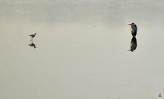 Big Bird .. Small Bird {EXPLORED} (rajnishjaiswal) Tags: birdsitting birdfishing birds birdsreflectioninwater reflection lake pond nature beautifulnature
