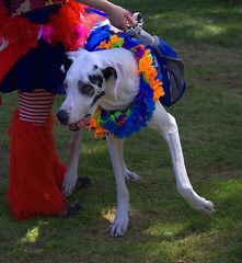 Festive Dog (swong95765) Tags: dog colors animal festive costume greatdane dressedup celebration