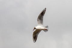 67Jovi-20160626-0001.jpg (67JOVI) Tags: valencia aves gaviota albufera volando racodelolla