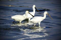 The 3 spoonbills (malc1702) Tags: spoonbills birds wildlife animals largebirds migration migratorybirds beauty water nature birdsinwater nikond7100 tamron150600 outdoor