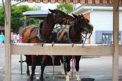 IMG_3784 (joyannmadd) Tags: amish horses intercourse pennsylvania kitchenkettlevillage farm animals lancaster coumty pa farms nature outdoors