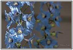 Nature - Flowers - Morning Sunlight on Delphinium Flowers. (Bill E2011) Tags: nature flowers delphinium colour blue shades canon larkspur nectary beauty beautiful light sunlight impact morning