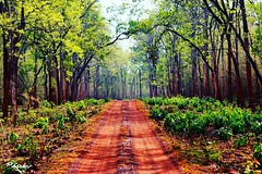 Beautiful road through forest (Captured by Bachi) Tags: wild india plant love nature beautiful forest garden landscape outdoor ngc deep scene foliage safari scenary lucky serene raod lovely natgeo greenary tadoba incredibleindia instagram lovegram indiaclicks
