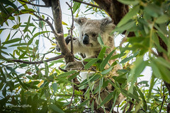 My first wild Koala 710_7377.jpg (Mobile Lynn) Tags: wild nature au australia koala queensland marsupials magneticisland coth coth5 sunrays5
