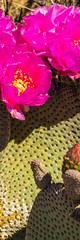Sony A7RII Spring Wildflowers Fine Art Joshua Tree National Park! Dr. Elliot McGucken Fine Art Landscape  Photography!  Sony A7R2 & Sony 16-35mm Vario-Tessar T FE F4 ZA OSS E-Mount Lens! (45SURF Hero's Odyssey Mythology Landscapes & Godde) Tags: nature fineart a7 fineartphotography naturephotography sonnar wideanglelens naturephotos tfe fineartphotos a7r fineartphotographer fineartnature sonya7 elliotmcgucken sonya7r elliotmcguckenphotography elliotmcguckenfineart sonya7rii a7rii a7r2 55mmf18zalens sonya7r2 masterfineartphotography sonya7riisony1635mmvariotessartfef4zaossemountlensdrelliotmcguckenfineartphotographywideangle