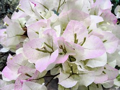 Bougainvillea (Thad Zajdowicz) Tags: pastel flower blossom bloom flora plant outdoor nature bougainvillea pasadena california zajdowicz cellphone photoshopexpress outside smartphone cameraphone android mobile motorola droid turbo availablelight