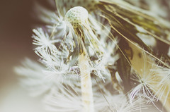 Double vision (garlick.rachel) Tags: macro contrast vintage exposure dof double dandelion dreamy serene wish tonal
