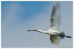 common spoonbill (fire111) Tags: common spoonbill lepelaar france bird flight vlucht