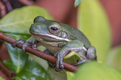 Frog or Toad? (Woodlands Photog) Tags: tree green nature woodlands texas houston amphibian frog