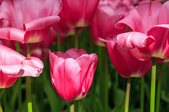 "Not ""just"" pink tulips (Maria_Globetrotter) Tags: travel flowers sun flower holland macro love tourism netherlands colors beauty dutch its closeup canon wonderful design spring big perfect colorful europe day colours power tulips natural symbol vibrant postcard nederland rosa visit best exotic plantation tulip stunning huge flowering typical bomb blommor majestic paysbas pases bloemen mania perennial tulipa symbolism frhling  keukenhof tulipe holand vr lightroom bloem dazzling bonanza tulp tulipes tulipanes   bajos vykort nederlnderna 2013 650d 1585  mariaglobetrotter blomsterresa"
