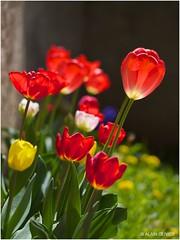 Tulipes du 8 mai