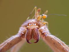 IMG_8918 (thienbs) Tags: mantis spider thienbs