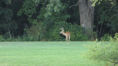 buck at turtlehead lake (timp37) Tags: summer lake canon illinois august powershot deer buck hs 2012 turtlehead sx260