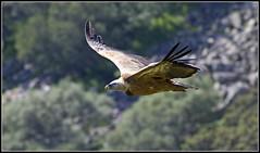 Griffon Vulture (CliveDodd) Tags: vulture griffon extremadura gyps fulvus monfrague