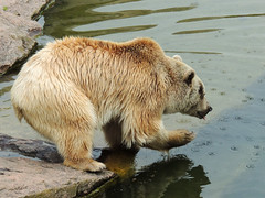 Brown Bear (MarkusR.) Tags: bear animal germany zoo stuttgart predator botanicalgarden tier br braunbr brownbear wilhelma ursusarctos badenwrttemberg badenwuerttemberg zoologicalgarden 2013 raubtier markusrieder mrieder 20130502np5022