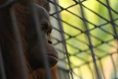 Orangutan captive, Nanga Pinoh (Rise of the Eco-Warriors) Tags: rescue indonesia rainforest borneo orangutan deforestation palmoil melawi