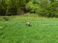 (The Chairman 8) Tags: trees dog grass canine valley brindle hooch queensbury shibdenvalley alsationcross