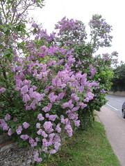 Lilac time (wallygrom) Tags: england westsussex lilac highstreet walkingtowork syringa angmering