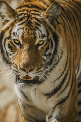 Eyes of a tiger II (Carlos Rubin Photography) Tags: animal cat zoo big eyes feline stripes tiger bigcat tigris tigre panthera