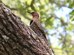 2013 06 01_4350_flicker (nbc_2011) Tags: bird nature woodpecker florida animalplanet planetearth northernflicker colaptesauratus picidae