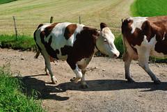 Longessaigne (Rhne) (Cletus Awreetus) Tags: france rhne agriculture vache montsdulyonnais troupeau bovin levage longessaigne