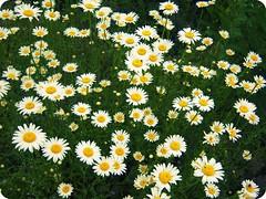 [22~52] (dancingdaisiess) Tags: flowers summer white flower cute green yellow daisies fun pretty dancingdaisiess