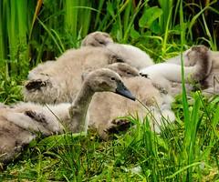 DSC_9838 (Julian R Rouse) Tags: lake bird water wildlife worcestershire wwt droitwich uptonwarren nikond7000 julianrouse