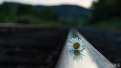 Solidarity (A.B.O.B PHOTOGRAPHY) Tags: urban mountain flower reflection train traintracks railway daisy milton escarpment