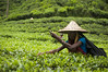 The Green Worker I (pusan_sm) Tags: tea worker teagarden srimongal moulvibazar srimongol ttlphotowalk ttlsafari