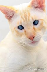 Siamois Red point (syl-photos) Tags: portrait pet canada cat chat quebec siamese qubec redpoint ozy siamois purebredcat sylviel shootingphotos animaldomestique chatderace sylphotos
